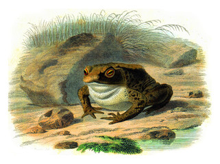Door stickers Hand drawn Sketch of animals The toad, vintage engraving.