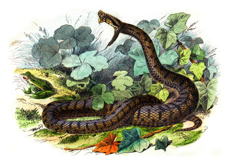 The common viper, vintage engraving.
