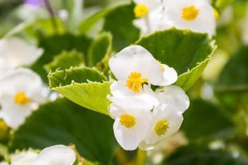 White Green Leaf Begonia Cluster