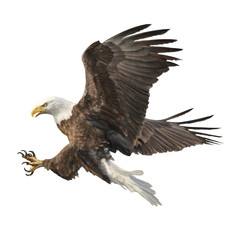 Bald eagle attack swoop hand draw and paint color on white background vector illustration.