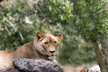 Lioness Gazes Serenely from rocky lair