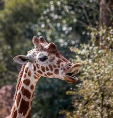 Orator B. Giraffe