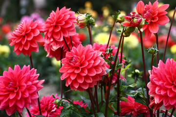 Spoed Fotobehang Dahlia Group pink dahlias./In a flower bed a considerable quantity of flowers dahlias with petals in various tones of pink color.