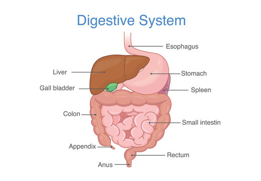 Human Intestines Anatomy and description for diagram. Illustration about medical and health.