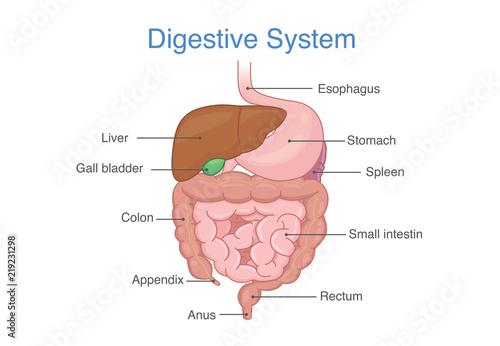 Human Intestines Anatomy and description for diagram. Illustration ...