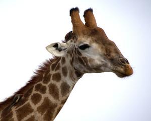 Giraffe with bird on neck