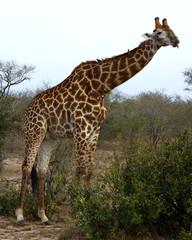 Giraffe sticking out tongue
