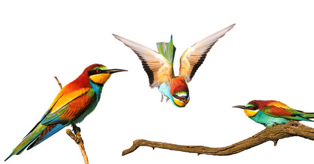Exotic colored bee-eaters birds isolated on white background