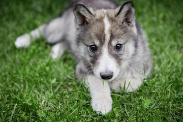 West Siberian Laika puppy