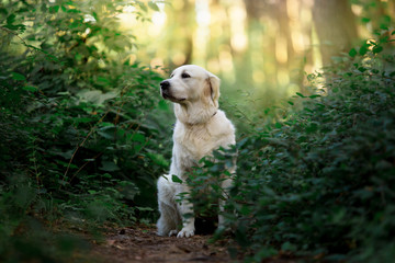 Beautiful dog breed Golden retriever in a green forest
