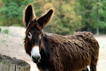 Portrait of domestic Catalan donkey on the farm