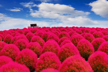 Beautiful kochias at Hitachi seaside park, Japan.