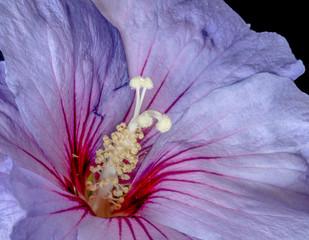 Floral color macro top view image of a the innerof a single isolated wide open violet red hibiscus blossom with detailed texture on black background in vintage painting style