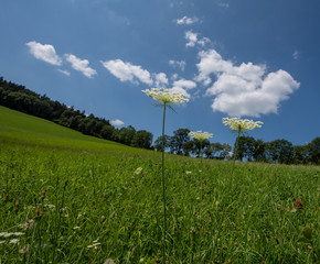 Color outdoor nature close up of three green white wild carrot / daucus carota flowers on natural blurred hilly landscape background on a sunny summer day,blue sky,some clouds