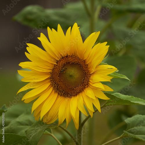 Fleur De Tournesol Stock Photo And Royalty Free Images On Fotolia
