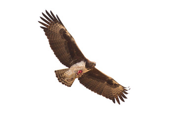 Steppe eagle flying with it's favourite meal, ground squirrel