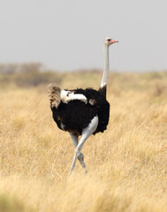 Male adult ostrich (Struthio camelus)