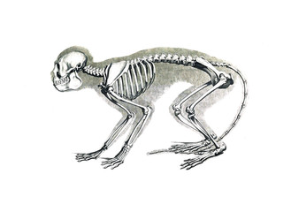 The skeleton of the animal
