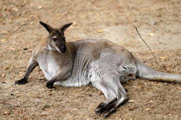 Full body of adult kangaroo (Macropod)
