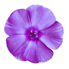 flower purple phlox isolated on white background. Close-up. Element of design. Nature.