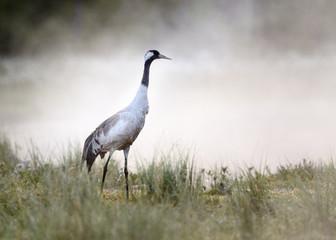 Common crane (Grus grus) in morning mist at lake in Telemark, Norway