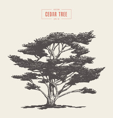 High detail vintage cedar tree drawn, vector