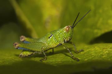 Grasshopper, Bandhavgarh Tiger Reserve outskirts, Madhya Pradesh