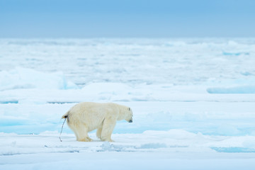 Polar bear defecate on drift ice edge with snow and water in Svalbard sea. White big animal in the nature habitat, Europe. Wildlife scene from nature. Dangerous bear shit on the ice.