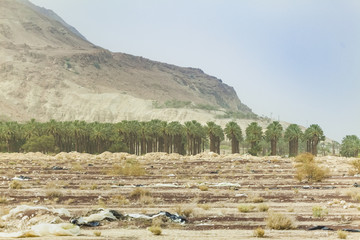 plantation of date palms in the desert of the Negev of Israel