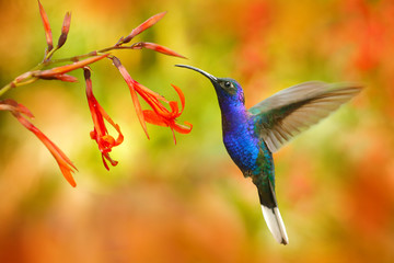 Wildlife in Costa Rica. Big blue hummingbird Violet Sabrewing flying next to beautiful red flower with clear green orange forest in background. Tinny bird fly in jungle.