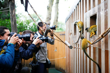 Squirrel monkeys are photographed by media  during the annual weigh-in at ZSL London Zoo in London