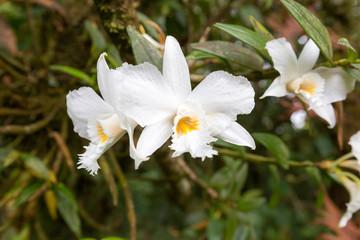 Thai white orchid