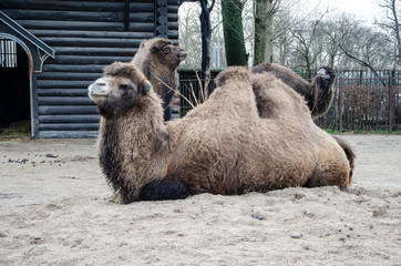 The lying camel