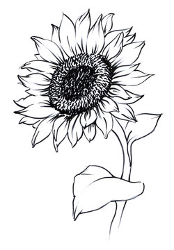 watercolor painted sunflower. painted on paper single flower contour
