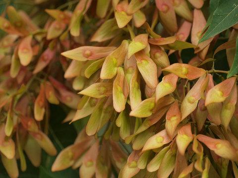 Ailanthus altissima. Graines d'ailante femelle encapsulées dans une samare rougeâtre.