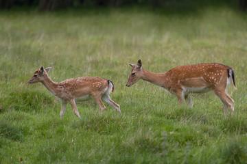 photo of a pair of female Fallow deer walking in green pasture