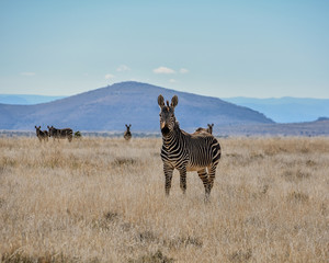 Wall Murals Cape Mountain Zebra