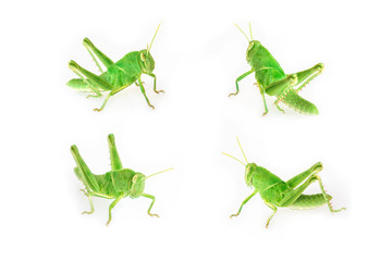 Set of baby green grasshopper isolated on white background