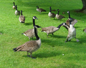 flock or gaggle of canada geese one pecking and one flapping wings