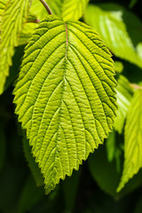 Close-up of an elm leaf against a blurred leaf background -selective focus