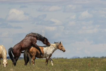 Wild Horses Mating in the Utah Desert