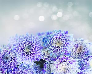 fresh blue chrysanthemum flowers border on gray background with light beams