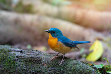 Bird in blue and orange color in nature,side view..Colorful mature flycatcher male bird in full plumage perching on log beside a pond in deep rainforest  of Thailand.