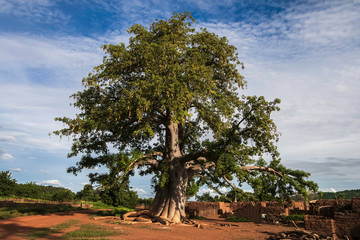 Foto op Canvas Baobab Giant baboab tree, adansonia digitata, in a gurunis village in the southwest of Burkina Faso, West Africa.