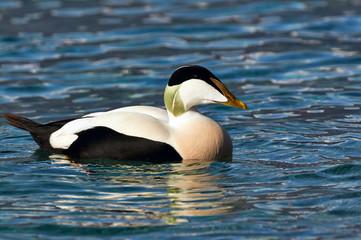 Common eider swimming