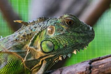 Head Shot Closeup Green chameleon