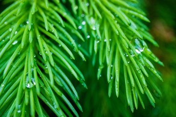 a branch of spruce with raindrops on it