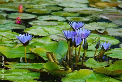 Seerose Seerosenteich Seerosenblatter Blute Blau Lila Teich