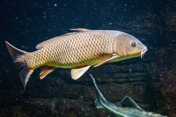 carp swims with other fish in a freshwater lake or pond