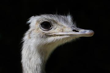 Close-up Portrait of grey Greater rhea (Rhea americana)